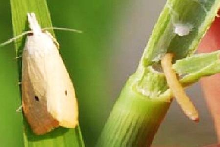 Sâu đục thân bướm 2 chấm và biện pháp phòng trị